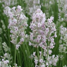 Picture of Lavandula ang. Rosea