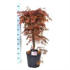 Picture of Acer pal. garnet