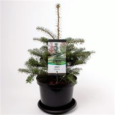 Picture of Abies koreana