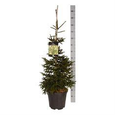 Picture of Picea orientalis Aureospicata